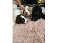 Sprocker spaniel puppies 2 available