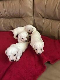 Beautiful Bishon Pups