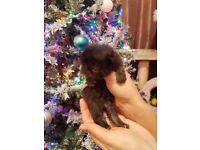 Beautiful long hair Persian kittens