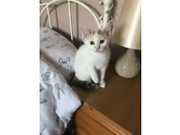 Female kitten mainly white Ready now