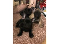 French Bulldog Puppies for sale, Black/fawn with black mask, in need of loving home