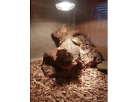 Bearded dragon with 4ft vivarium. Dragon is 11 months old ,