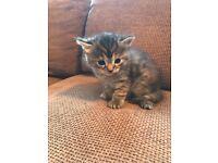 Exotic Persian Kittens for sale