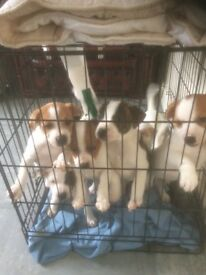 Jack Russel cross staff puppies 🐶8wks old 🐶 ready now. fully wormed 🐶 really healthy and playfull