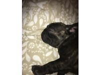 Male French bulldog 11 weeks old