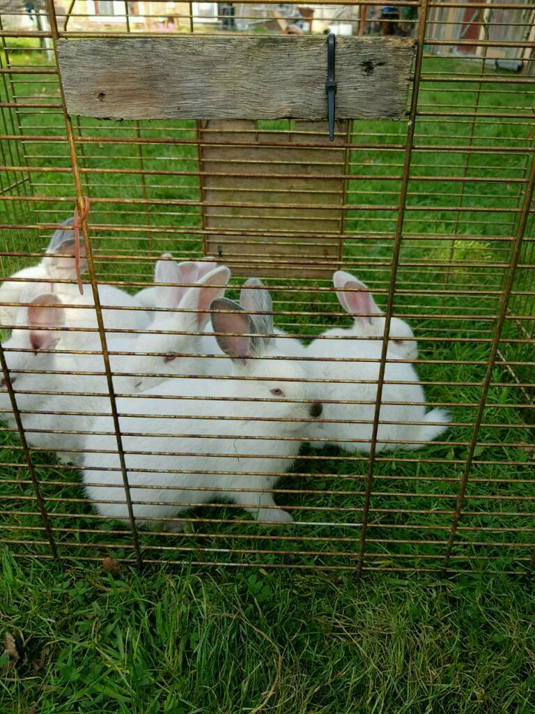 WHITE RABBITS READY TO LEAVE NOW