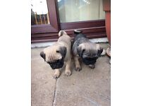 Pug Puppies Unusual Colour 1 Boy 1Girl