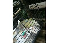 Female Parakeet 18 months old