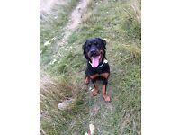 Loving female Rottweiler