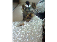 YORKSHIRE TERRIER KC REG DOG AGE 3
