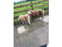 Miniature Horse Stallion and colt foal