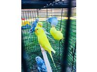 Budgies for sale (pair for £25)