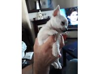 Pure white smooth puppy female