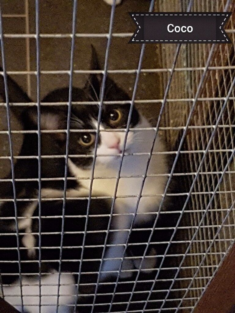 4 gorgeous black and white kittens need rehoming