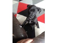 Staffy x patterdale pup for new home