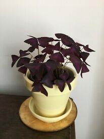 RARE HOUSE PLANT OXALIS TRIANGULARIS PURPLE SHAMROCK FALSE SHAMROCK LOVE PLANT