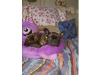 kc reg french bulldog 9 months old needs rehomed