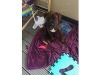French Mastiff 12 weeks old