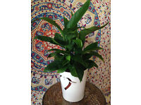 Big Peace Lily in Cute White Pot with Heart Detail