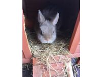 Linx Netherland Dwarf Rabbit for sale. Male. Indoor or outdoor. Comes with small hutch.