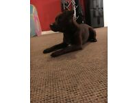 8 month old patterdale terrier