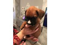 Boxer bitch for sale