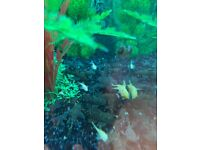 Bristlenose Pleco tropical fish - brown and gold