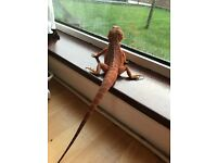 Hipo Red Translucent Bearded Dragon Male