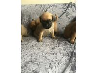 Puggle pups for sale