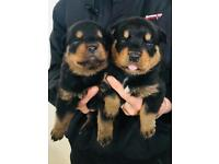 Rottweiler puppies chunky big boys and girls