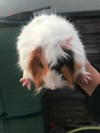 Male guinea pig for sale.