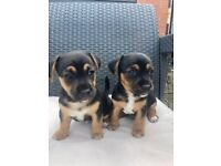 Stunning Miniature Black and Tan Jack Russell Puppies