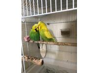 Exhibition Budgies for sale