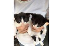 Siamese / Tabby kittens