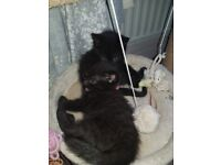 2 x beautiful female kittens for sale southend on sea ready to ho 28th july. £60 each