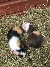 Baby female guinea pigs