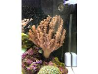 Large soft coral