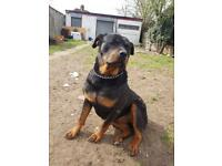 Rottweiler Female 3yrs old **very friendly**