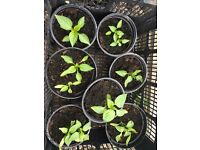 Long Red 'Marconi' sweet pepper plants