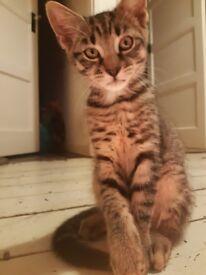Beautiful Male Grey Tabby Kitten