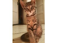 Beautiful Male Grey Tabby Kitten