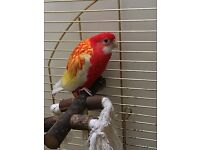 Beautiful Rosella-Paraqueet - 7 years old - Female £75