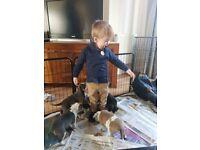 Old tyme english bulldog puppies