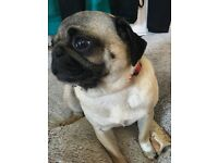 Female pug looking for forever home