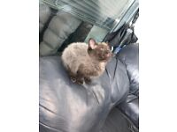 Siamese x british short hair charcoal ombre kitten last one remaining