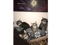 Cute fluffy silver/brown tabby kittens
