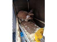 Free mini lop boy rabbit