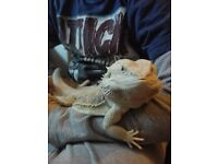 Bearded dragon with all equipment for sale