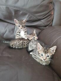 Beautiful half bengal kittens 1 boy and 1 girl left