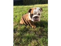 English Bulldog girl 9 weeks